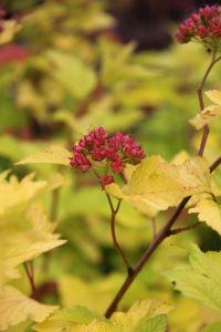 Blasenspiere Darts Gold • Physocarpus opulifolius Darts Gold