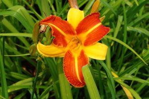 Garten-Taglilie Frans Hals • Hemerocallis x cult Frans Hals