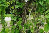 Pfeifenwinde • Aristolochia macrophylla