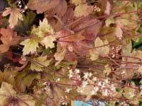 Garten-Purpurglöckchen • Heuchera Sweet Tea