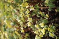 Elfenblume schwefelgelb • Epimedium x versicolor Sulphureum