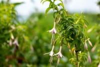 Garten Fuchsie • Fuchsia magellanica alba