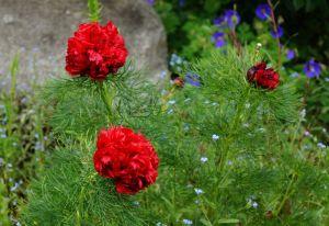 Netzblatt-Pfingstrose Plena • Paeonia tenuifolia Plena