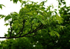 Echter Korkbaum • Phellodendron amurense