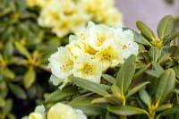 Rhododendron Lucinda • Rhododendron yakushimanum Lucinda