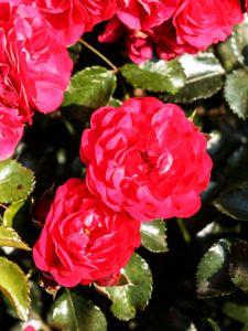 Rose Gärtnerfreude ® • Rosa Gärtnerfreude ®