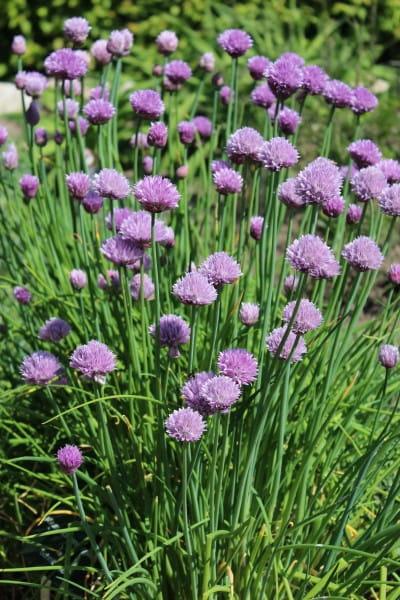 Schnittlauch • Allium schoenoprasum