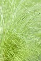 Zartes Garten-Federgras • Stipa tenuissima Ponytails