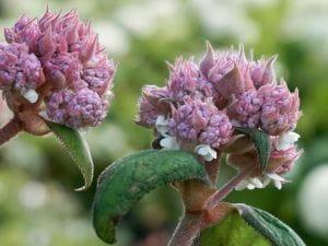 Samthortensie Macrophylla • Hydrangea aspera Macrophylla