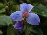 Blaublühender Scheinmohn • Meconopsis betonicifolia