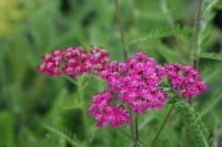 Garten Schaf Garbe - Achillea millefolium Cerise Queen