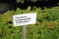 Kaskaden Thymian - Thymus longicaulis 'Oderatus'