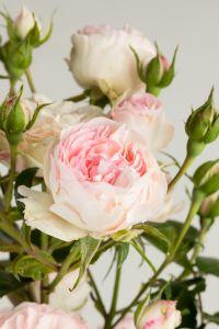 Kletterrose Mini Eden Rose • Rosa Mini Eden Rose