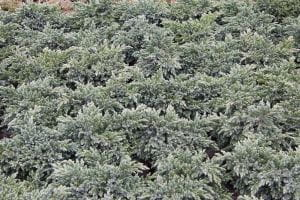 Blauer Zwerg-Wacholder • Juniperus squamata Blue Star