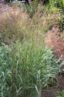 Garten-Ruten-Hirse • Panicum virgatum Shenandoah