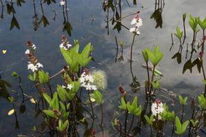 Fieberklee • Menyanthes trifoliata