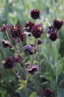 Kurzspornige Garten Akelei • Aquilegia vulgaris Black Barlow