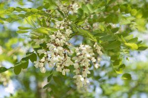 Scheinakazie Nyirsegi • Robinia pseudoacacia Nyirsegi