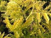 Scheinakazie Frisia • Robinia pseudoac. Frisia