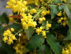 Zwergmahonie Apollo • Mahonia aquifolium Apollo