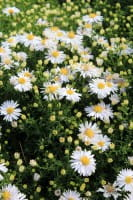 Garten Kissen Aster • Aster dumosus Kristina