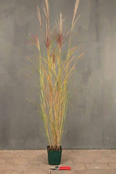 China-Schilfgras • Miscanthus sinensis Kleine Silberspinne
