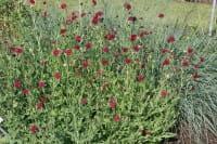 Mazedonische Witwenblume • Knautia macedonica