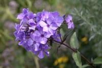 Hohe Garten-Flammenblume • Phlox paniculata Blue Paradise