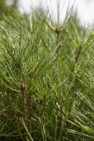 Japanische Stechkiefer Alice Verkade • Pinus densiflora Alice Verkade