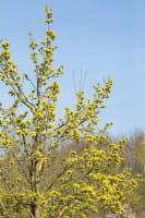 Spitzahorn • Acer platanoides