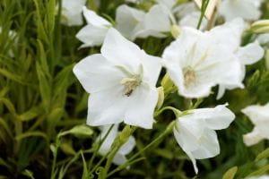 Glockenblume • Campanula persicifolia Grandiflora Alba