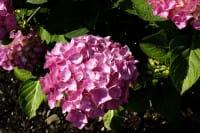 Bauernhortensie Bouquet Rose • Hydrangea macrophylla Bouquet Rose