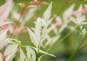 Heiliger Bambus Twilight • Nandina domestica Twilight