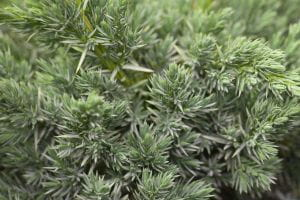 Blauzeder-Wacholder Meyeri • Juniperus squamata Meyeri
