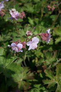 Garten-Storchschnabel Ingwersen • Geranium macrorrhizum Ingwersen