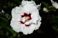 Garteneibisch Speciosus • Hibiscus Speciosus