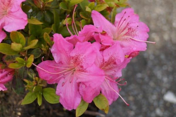 Japanische Azalee Kirstin • Rhododendron obtusum Kirstin