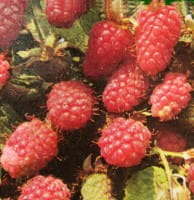 Himbeere Tulameen • Rubus idaeus Tulameen