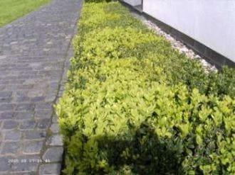 Buchsbaum Suffruticosa • Buxus sempervirens Suffruticosa