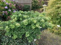 Fächerblattbaum Troll • Ginkgo biloba Troll