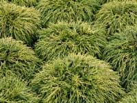 Gelbe Fadenzypresse • Chamaecyparis pisifera Filifera Aurea Nana