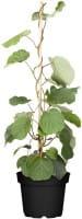 Kiwi Hayward • Actinidia chinensis Hayward
