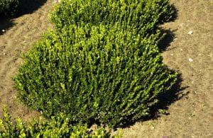 Kleinblättriger Buchsbaum Faulkner • Buxus microphylla Faulkner