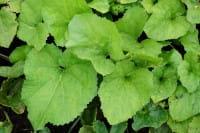 Gewöhnliche Pestwurz • Petasites hybridus