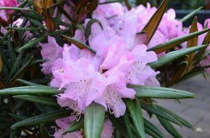 Rhododendron Jens Jörgen Sörensen • Rhododendron makinoi Jens Jörgen Sörensen