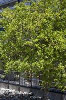Bitterorange • Poncirus trifoliata