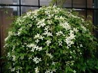 Waldrebe montana Wilsonii (Wildart) • Clematis montana Wilsonii