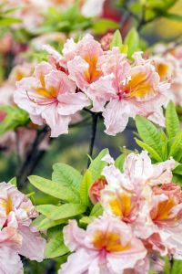 Rhododendron Berryrose • Rhododendron luteum Berryrose