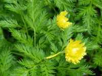 Gefülltes Adonisröschen • Adonis amurensis Pleniflora