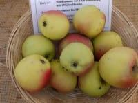 Apfel Schöner von Nordhausen • Malus Schöner von Nordhausen